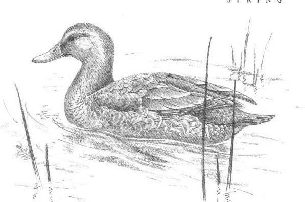 ducks unlimited coloring pages - photo#33
