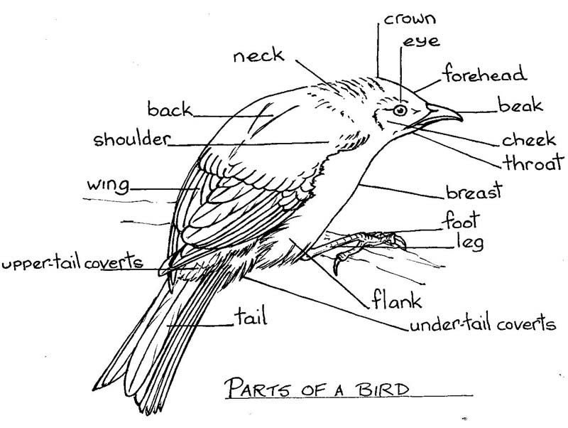 Diagram Of Different Parts Of Birds - Wiring Diagrams •