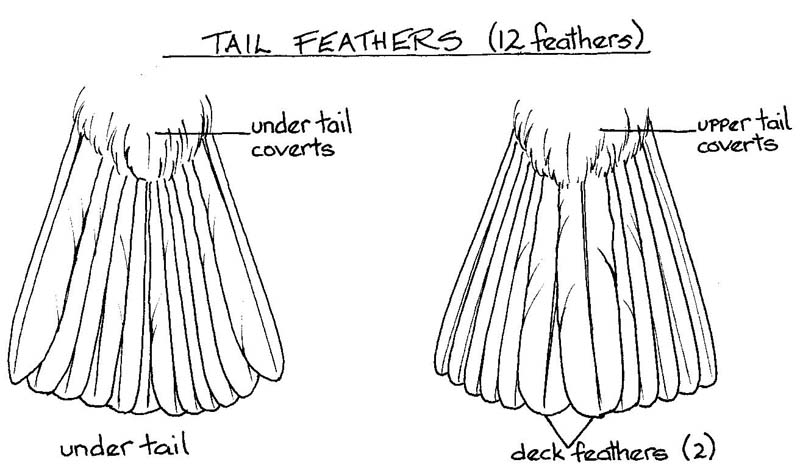Bird Wing Feather Diagram Birds Tail.jpg Wing Feathers